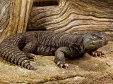 Mali Uromastyx, Uromastyx Maliensis, Native to Northern Africa Photographic Print by David Northcott