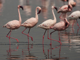 Lesser Flamingos, Lake Nakuru National Park, Kenya Photographic Print by Joe &amp; Mary Ann McDonald