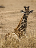 Masai Giraffe, Masai Mara Game Reserve, Kenya Photographic Print by Joe &amp; Mary Ann McDonald
