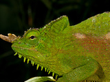 Four Horned Chameleon, Trioceros (Chamaeleo) Quadricornis, Native to the Cameroons Photographic Print by David Northcott