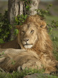 Lion Resting, Masai Mara Game Reserve, Kenya Photographic Print by Joe & Mary Ann McDonald