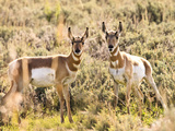 Prong Horn Antelopes, Yellowstone National Park, Wyoming, USA Photographic Print by Tom Norring