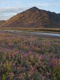 Dwarf Fireweed, Arctic National Wildlife Refuge, Alaska, USA Photographic Print by Hugh Rose