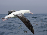 Gibson's Albatross, Kaikoura, Marlborough, South Island, New Zealand Photographic Print by David Wall