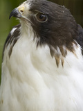 White-Tailed Hawk, Anton El Valle, Panama Photographic Print by William Sutton
