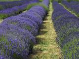 Lavender Farm, Sequim, Washington, USA Photographic Print by Michel Hersen