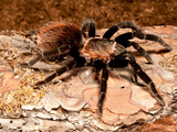 Red Rump Tarantula, Brachypelma Vagans Photographic Print by David Northcott