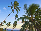Nanuku Levu, Fiji Islands Palm Trees with Coconuts, Fiji, South Pacific, Oceania Photographic Print by Miva Stock