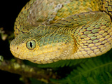 Bush Viper, Atheris Squamiger, Native to Eastern Africa Photographic Print by David Northcott