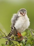 Pygmy Falcon, Samburu Game Reserve, Kenya Photographic Print by Joe &amp; Mary Ann McDonald