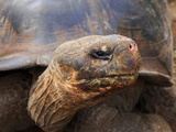 Close Up of a Galapagos Tortoise, Giant Tortoise, Geochelone Nigra, Galapagos Islands, Ecuador Photographic Print by Miva Stock