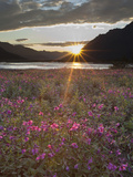 Dwarf Fireweed, Arctic National Wildlife Refuge, Alaska, USA Photographic Print by Hugh Rose