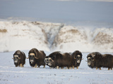 Muskoxen, Arctic National Wildlife Refuge, Alaska, USA Photographic Print by Hugh Rose
