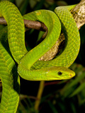 East African Green Mamba, Dendroaspis Angusticeps, Native to Eastern Africa Photographic Print by David Northcott