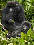 Umubano Group of Mountain Gorillas, Volcanoes National Park, Rwanda Photographic Print by Ralph H. Bendjebar