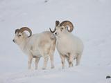 Dall Sheep Rams, Arctic National Wildlife Refuge, Alaska, USA Fotografisk trykk av Hugh Rose