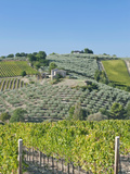 Vineyards and Olive Groves, Montefalco, Italy Photographic Print by Rob Tilley