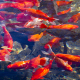 Koi and Carp, Big Spring Park, Huntsville, Alabama, USA Fotografie-Druck von William Sutton