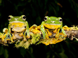 Giant Gliding Treefrog, Polypedates Kio., Native to Vietnam Photographic Print by David Northcott