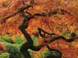 Japanese Maple in Full Fall Color, Portland Japanese Garden, Portland, Oregon, USA Photographic Print by Michel Hersen