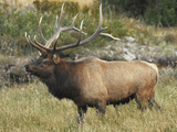 Male Elk in Moraine Park, Rocky Mountain National Park, Colorado, USA Photographic Print by Michel Hersen