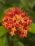 Tropical Flower, Coral Coast, Viti Levu, Fiji, South Pacific Photographic Print by David Wall