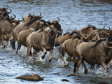 White-Bearded Wildebeest, Masai Mara Game Reserve, Kenya Photographic Print by Joe &amp; Mary Ann McDonald