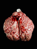 Cow Brain Photographic Print by Nico Tondini