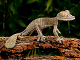 Giant Leaf-Tailed Gecko, Uroplatus Fimbriatus, Native to Madagascar Photographic Print by David Northcott