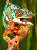 Rainbow Panther Chameleon, Fucifer Pardalis, Native to Madagascar Photographic Print by David Northcott