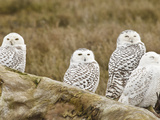 Snowy Owl, Boundary Bay, British Columbia, Canada Photographic Print by Rick A. Brown
