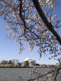 Cherry Blossom Festival, Washington DC, USA, District of Columbia Lámina fotográfica por Lee Foster