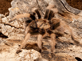 New River Rust Rump Tarantula, Aphonopelma Sp Photographic Print by David Northcott