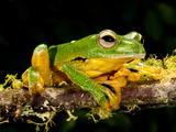 Giant Gliding Treefrog, Polypedates Kio., Native to Vietnam Photographic Print by David Northcott