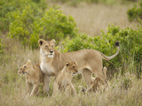 Female Lion with Cubs, Masai Mara Game Reserve, Kenya Photographic Print by Joe &amp; Mary Ann McDonald