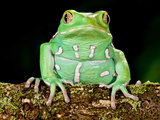 Painted Monkey Frog, Phyllomedusa Savaugii, Native to Paraguay Photographic Print by David Northcott