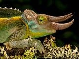 Mount Kenya Jackson's Chameleon, Trioceros Jacksonii Xanthopholophus, Native to Kenya Photographic Print by David Northcott