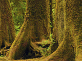 Western Red Cedar, Hoh Rain Forest, Olympic National Park, Washington, USA Photographic Print by Michel Hersen