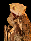 Crested Gecko, Rhacodactylus Ciliatus, Native to New Caledonia Photographic Print by David Northcott