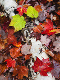 Fallen Maple Leaves, White Mountains, New Hampshire, USA Photographic Print by Dennis Flaherty