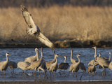 Sandhill Cranes (Grus Canadensis) Flying at Dusk, Platte River, Nebraska, USA Fotodruck von William Sutton