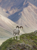 Dall Sheep Rams, Denali National Park, Alaska, USA Photographic Print by Hugh Rose