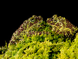 Vietnamese Mossy Frog, Theloderma Corticale, Native to Vietnam Photographic Print by David Northcott