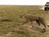 Lion, Amboseli, Kenya Photographic Print by Kymri Wilt