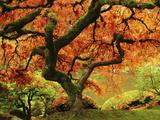 Japanese Maple in Full Fall Color, Portland Japanese Garden, Portland, Oregon, USA Fotografisk tryk af Michel Hersen