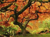 Japanese Maple in Full Fall Color, Portland Japanese Garden, Portland, Oregon, USA Impressão fotográfica por Michel Hersen