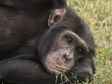 Common Chimpanzee, Sweetwater Conservancy, Kenya Photographic Print by Joe &amp; Mary Ann McDonald