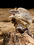 Frilled Lizard, Chalamydosaurus Kingii, Native to New Guinea Photographic Print by David Northcott