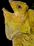 Malaysian Crested Dragon Lizard, Goniocephalus Chameleontinus, Native to Indonesia Photographic Print by David Northcott