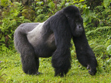 Kwitonda Group of Mountain Gorillas, Volcanoes National Park, Rwanda Fotografisk tryk af Ralph H. Bendjebar